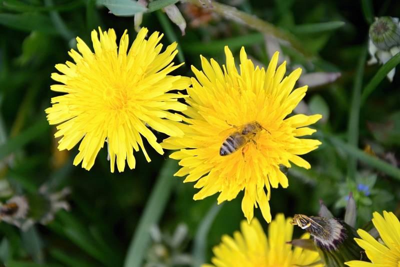 """Z pampelišek si můžete doma vyrobit voňavý a sladký """"med""""."""