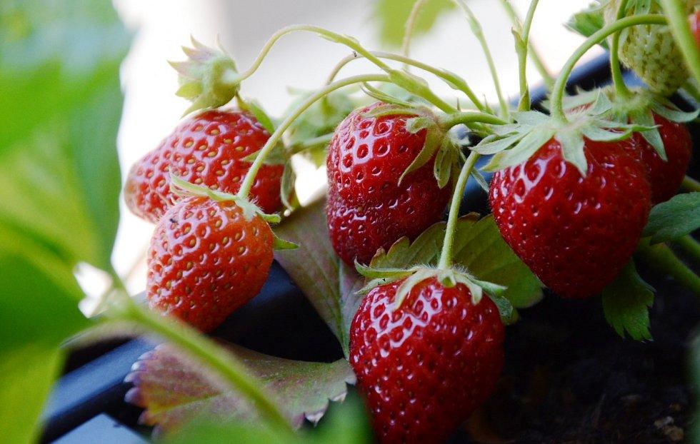 Sezona sladkých a šťavnatých jahod pomalu začíná. Můžete je pěstovat i v truhlíku na balkóně.