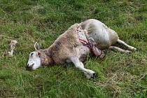 Na pastvě ležel mrtvý beran a jedna ovce, druhá napůl sežraná ležela v přístřešku. Foto: Deník/Jiří Řezník