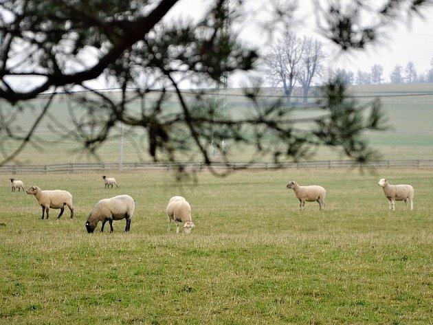 Ovce na pastvě. Ilustrační snímek.