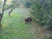 Z broumovské minizoo si udělali krátký výlet dva klokani.