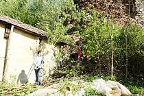 Ochránci památek odvedli na zřícenině hradu Frymburk v Novém Hrádku dobrou práci. Vyřezávali náletové dřeviny.