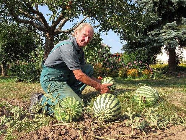 VÁCLAV ŠTEJNAR sklízí letošní úrodu melounů. Jak se ukázalo, trefil čas sklizně přesně. Byly výborné.