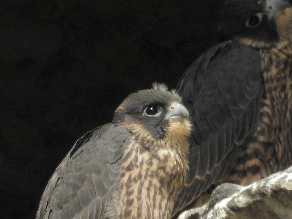 Poslední letošní pozorování je připraveno na tento víkend 13. a 14. června, oba dny od 10.30 do 17 hodin. Kvidění budou mláďata zdokonalující se ve svých leteckých schopnostech při nácviku lovu a při trhání potravy na skalách.
