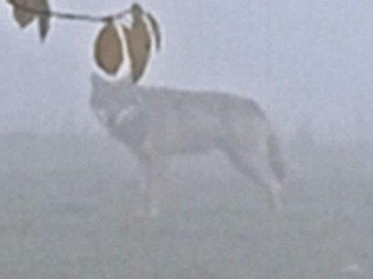 SNÍMEK, na kterém je vyfocena v mlze psovitá šelma v okolí Hejtmánkovic. Podle oslovených expertů by to prý vlk být mohl.