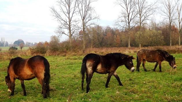 EXMOORSKÝ PONY je nejstarším plemenem ve Velké Británii. Tito divocí koně by se měli pást i v Královéhradeckém kraji.