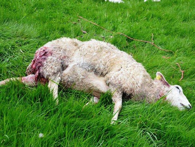 Hladoví vlci opět útočí. Pro ovce přišli až do vsi