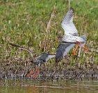 Jedním z druhů, které by tůně Slavíkovského ptačníku mohly přilákat, je i vodouš rudonohý.