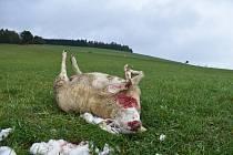 Po dalším útoku vlků zůstalo na pastvině Jana Šefc v Lachově osm mrtvých kusů a více než desítka zraněných. Foto: Deník/Jiří Řezník