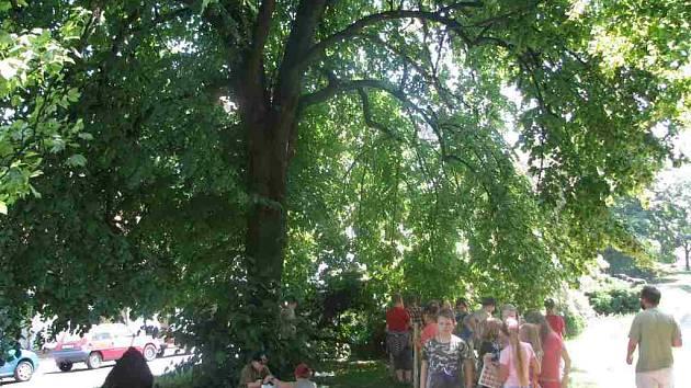 Náchodská lípa se bude ucházet o titul Strom roku 2008.