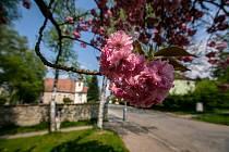 Letos sakury vykvetly o něco později než vloni především kvůli nadprůměrně studenému dubnu.