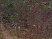 VLK, jak ho zachytila fotopast na lesní pěšině severně od Teplic nad Metují.