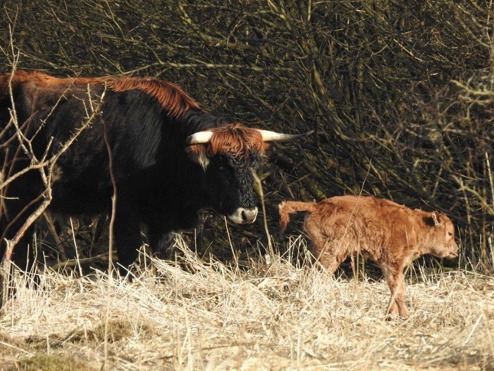 V Ptačím parku Josefovské louky spásají vegetaci od října loňského roku dvě jalovice pratura. Jedna z nich na konci února porodila. Zabřezla ještě v Milovicích, odkud byla zvířata převezena.