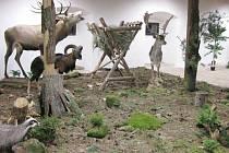Veliký úspěch mají v Muzeu přírodovědy zvířata v životní velikosti.