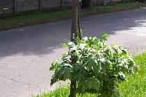 Polámané javory v Ttýništi nad Orlicí.
