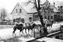 Rudá armáda přijela do Rybné s velbloudy