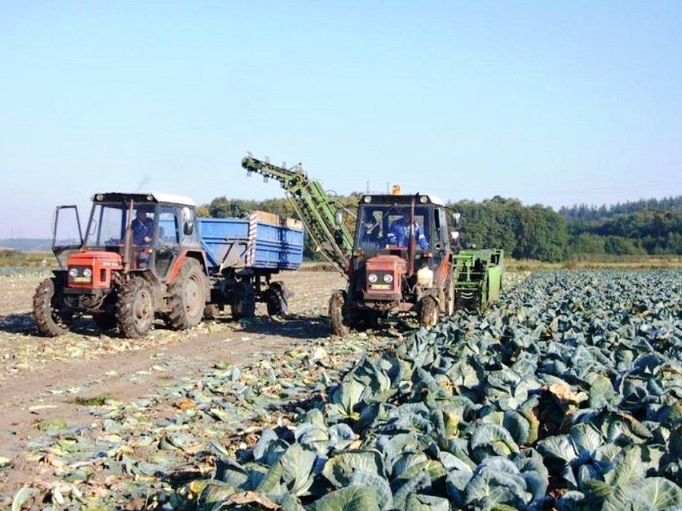 Letošní sklizeň hlávkového zelí v Bolehošti skončila o čtrnáct dní dříve než obvykle.