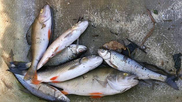 Uhynulé ryby z řeky Dědiny.