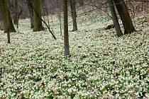 PŘEDPOKLÁDANÝ MRÁZ v zámeckém parku zřejmě napáchá velké škody. Zasáhne již rozkvetlé bledule, sněženky či talovíny.