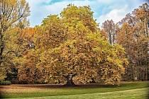 Vzácný památný strom v zámeckém parku Nového zámku v Kostelci nad Orlicí.