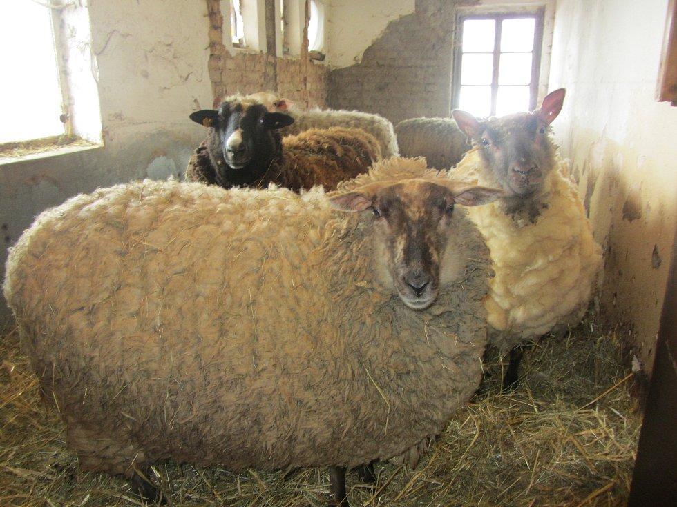 Ovce v Uhřínově.
