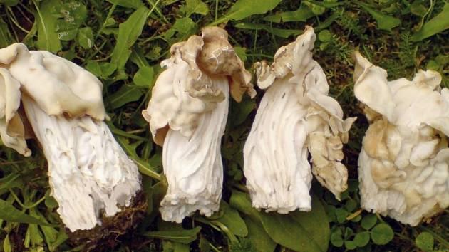 Na fotografii je chřapáč kadeřavý (Helvella crispa), který po téměř desetileté přestávce vyrostl u Potštejna.