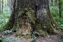 Král dubů.