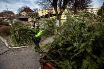 Některá města zajišťují svoz vánočních stromků z ulic - jako například v Dobrušce na Rychnovsku.