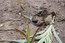 Pachatelé se ani neobtěžovali zahladit stopy. Hlava Růži zůstala nedaleko těla....samozřejmě bez uší, ty jsou důkazem.