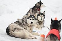 ČEKÁNÍ NA START. Snímek ze včerejšího závodního depa. Do Deštného se sjíždějí aktéři nejdelšího závodu psích spřežení v republice. Slavnostní zahájení Šediváčkova longu je na programu dnes.