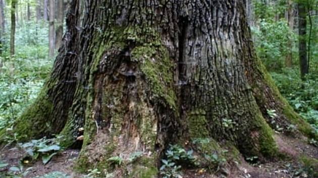 Víc než 500 let starý král dubů, památný strom v katastru Rychnova dub letní, zvaný královský, roste v lese Bažantnice mezi Lokotem a dvorem Karolín u Lipovky.