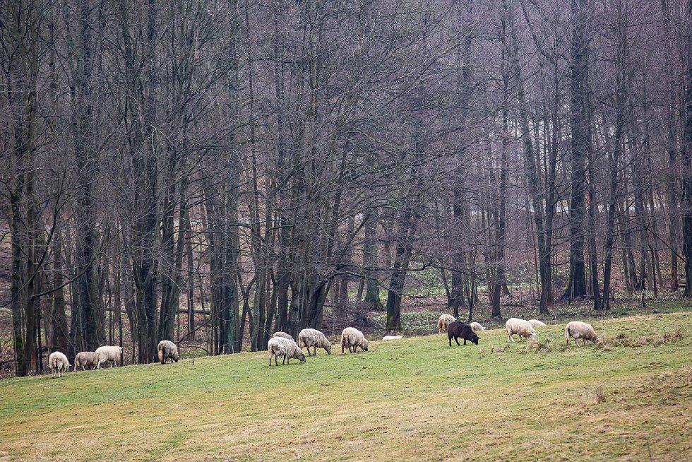 Chovatel Pavel Mach ze Šedivin v Orlických horách přišel po útoku vlků o dvě ovce.