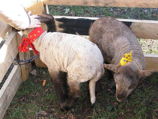 Živé ovečky na častolovické velikonoční výstavě.