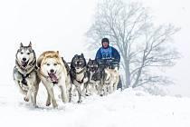 Závody psích spřežení Šediváčkův long.