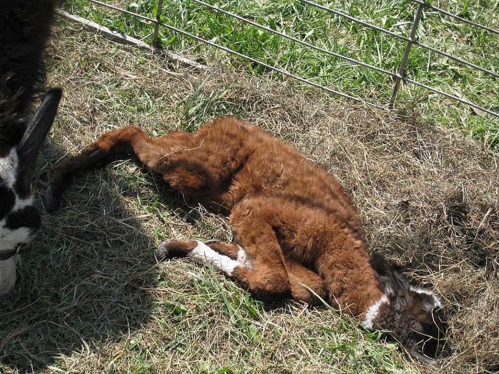 V Cirkusu Jo-Joo se  v Rychnově n. K. 24. dubna narodila lama, která dostala jméno Rychnov.