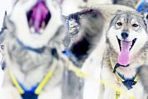 Do Deštného se sjíždějí účastníci nejtěžšího závodu psích spřežení