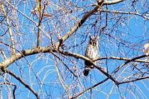 Jen tak ho neuvidíte. Jen ten, kdo se pořádně dívá a zaměří svůj pohled do koruny stromu, může v Dobrušce spatřit kalouse ušatého.