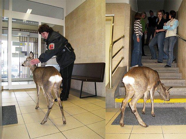 Nejen pracovníci, ale i návštěvníci Okresního soudu zažili skutečně neobvyklý pátek 13. Po chodbě přísně střeženého objektu se procházel srneček a lízal zaschlou sůl ze schodů.