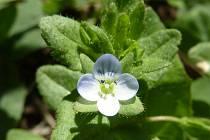 Rozrazil polní (Veronica agrestis) je silně ohroženým druhem, avšak v širším okolí Týnišťska je nalézán poměrně často.