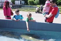 Lidé si také prohlédli trofejní ryby včetně  unikátního zlatého sumce Kryštofa.