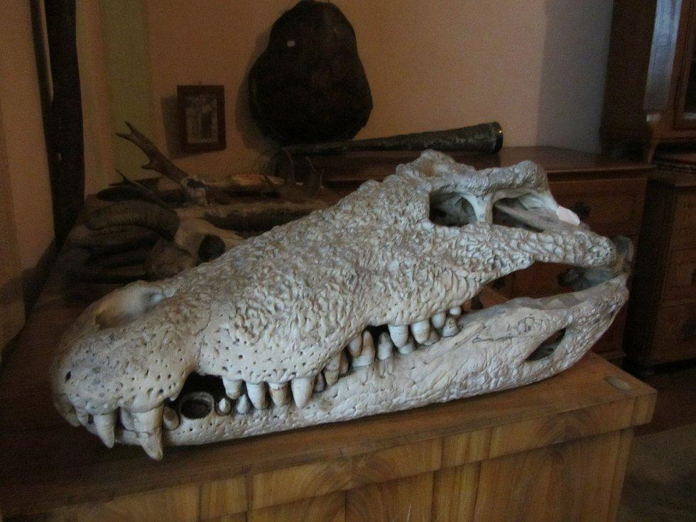 Z druhého patra opočenského zámku. Lebka krokodýla.