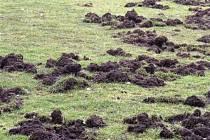 Divoká prasata ničí fotbalová hřiště