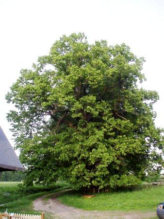 Lípu chtějí její majitelé prohlásit za památný strom.