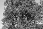 Největší lípa v Chráněné krajinné oblasti Orlických hor se nachází v Sedloňově. Její obvod je 8,5 metrů a je přibližně 500 let stará. Druhá chráněná lípa roste na Polomu.