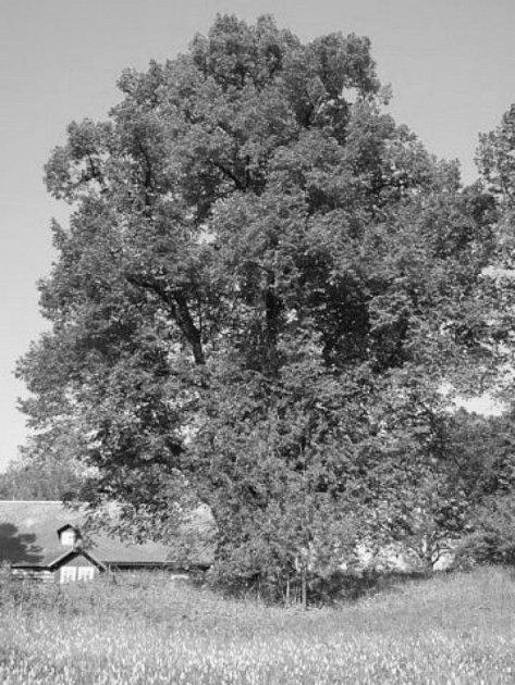 Největší lípa vChráněné krajinné oblasti Orlických hor se nachází vSedloňově. Její obvod je 8,5metrů a je přibližně 500let stará. Druhá chráněná lípa roste na Polomu.
