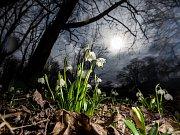 Jaro a bledule v zámeckém parku v Kostelci nad Orlicí.