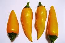 OCHUTNÁVKA z letošní sklizně chilli papriček.