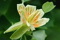 Tulipánový strom