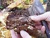 Kůrovec ze Sibiře se objevil i v Ústeckém kraji, je odolnější