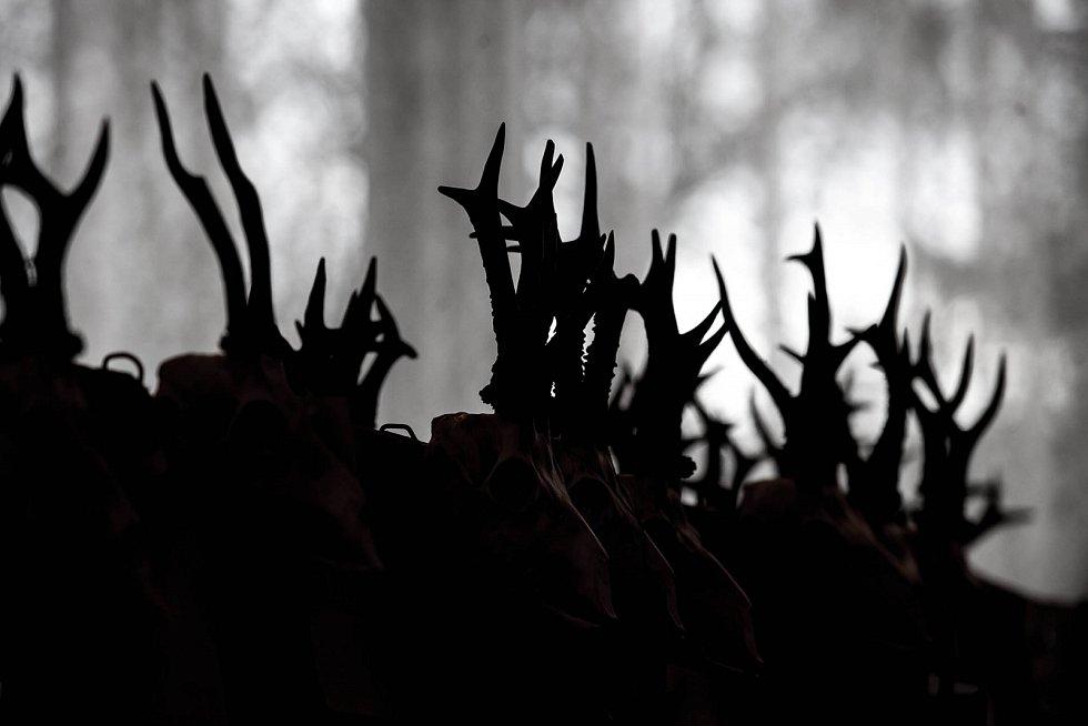 Chovatelské výstavy trofejí jsou nedílnou součástí mysliveckých tradic. V Dobrušce byla zahájena týdenní přehlídka. V honitbách na Rychnovsku bylo v roce 2015 uloveno čtyři a půl tisíce kusů spárkaté zvěře.